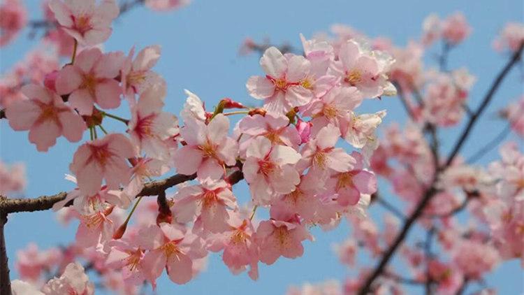 申城早樱提前露粉颜 花期为20年以来最早一次