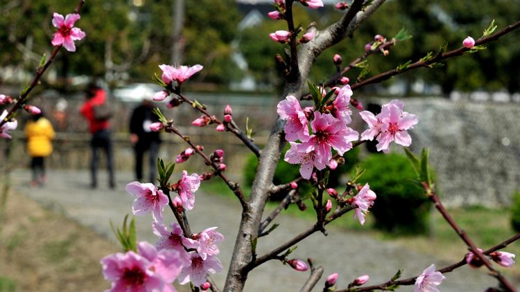 二十九届上海桃花节周末开启 9条赏花线路邀你来