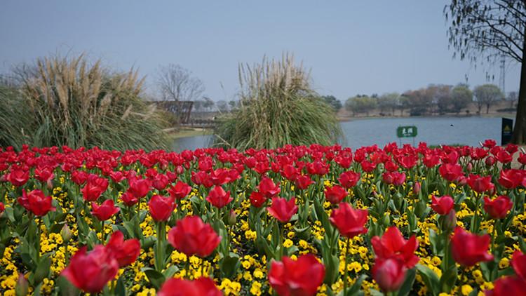郁金香洋水仙接力绽放 辰山植物园春色满园