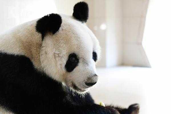 大熊猫园园.JPG