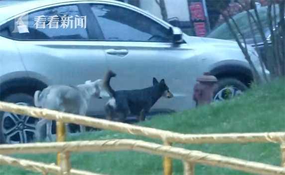 视频|小区野狗频伤人 小泰迪护主竟遭3只野狗围攻咬死