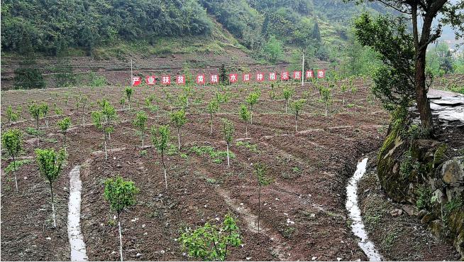 这是2017年底种下的木瓜树苗。预计明年秋天它们可以挂果。漫山遍野的木瓜树在花期既美丽又是很好的蜜源,促进当地的生态旅游和蜂蜜产业,可以一举多得。