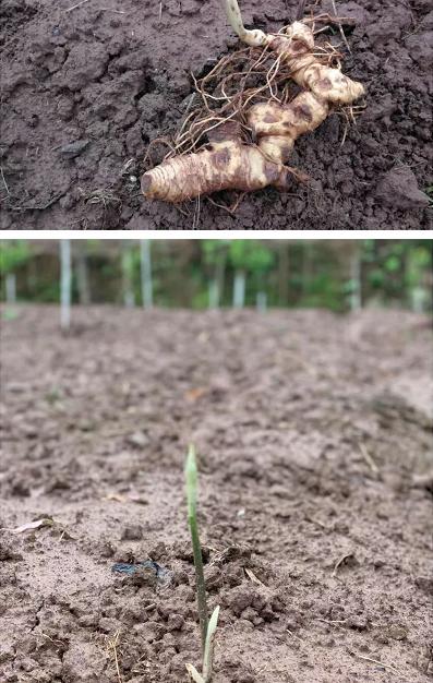 黄精,既是食品又是中药材,被认为具有补气润肺的功效。华溪村采用木瓜和黄精套种的方式,既节约耕地,也符合黄精喜阴的习性。华溪村目前种植黄精200亩,有150户480人参与种植,其中贫困户48户、159人。