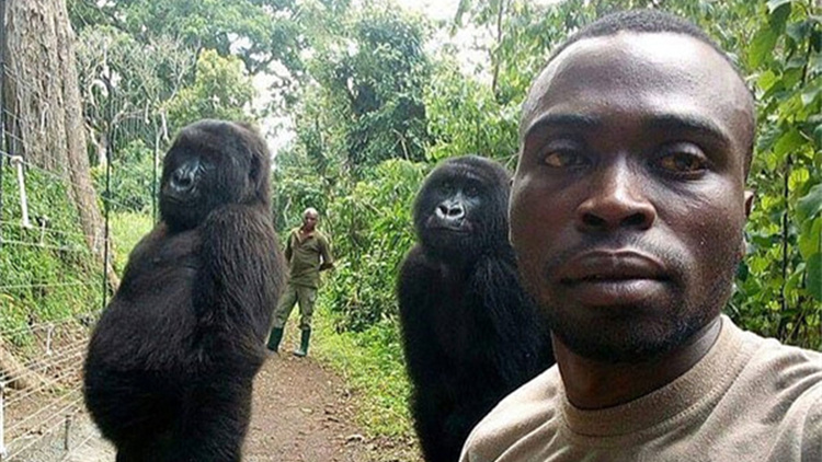 与护林员玩自拍 大猩猩超专业 站姿表情太像人类