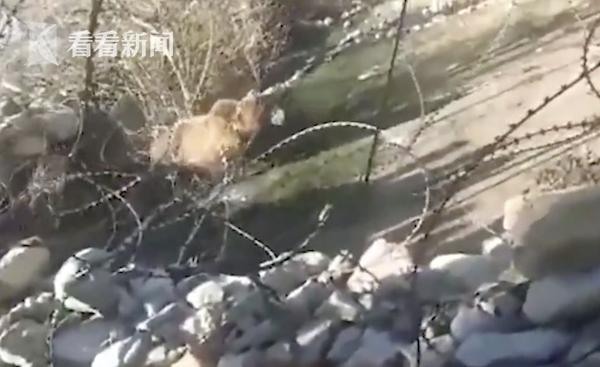 视频|小熊误闯村子遭村民围堵扔石头 致摔下峭壁溺死