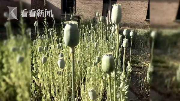 秒速快三计划视频 男子种2300株罂粟被查 说出的理由让民警惊呆了