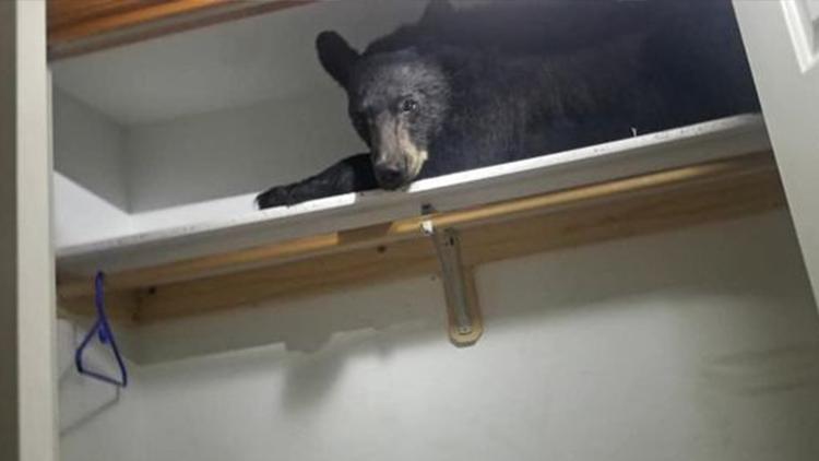 大黑熊躲衣柜睡觉被发现 看见警察一脸呆萌