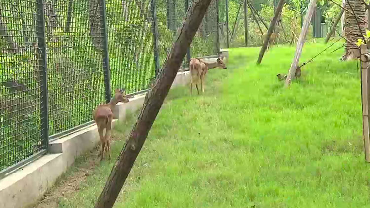 着力恢复本土物种 申城土著獐家族喜添四宝