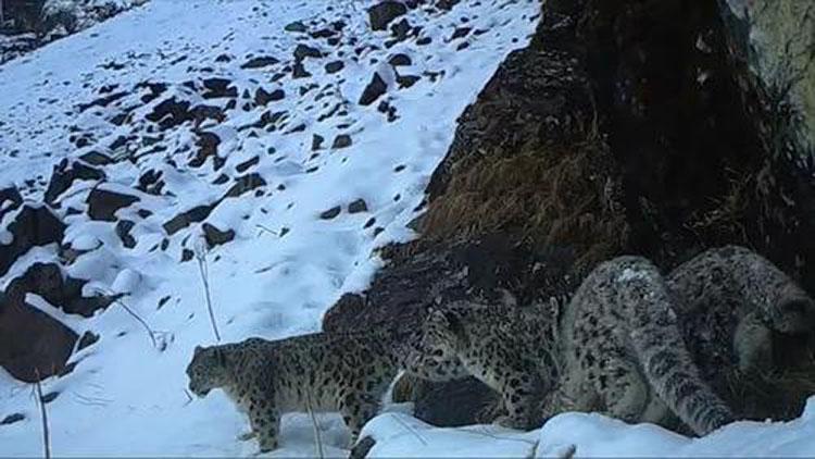 罕见!四川卧龙拍到四只雪豹同框