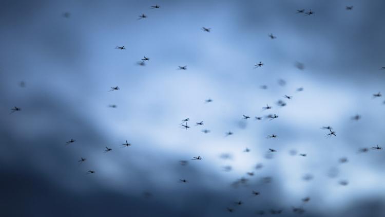科学家发现消灭传播疾病蚊子新方法 几乎根除!