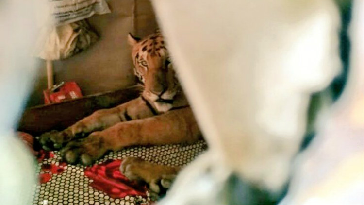 印度大雨动物集体逃难 老虎跑民众家躺床上睡觉