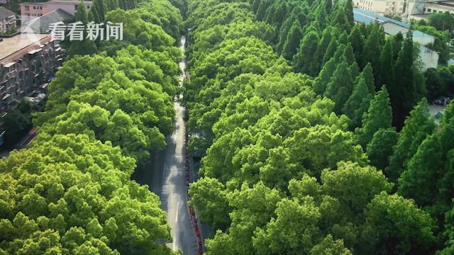 香樟情怀:江川香樟一条街