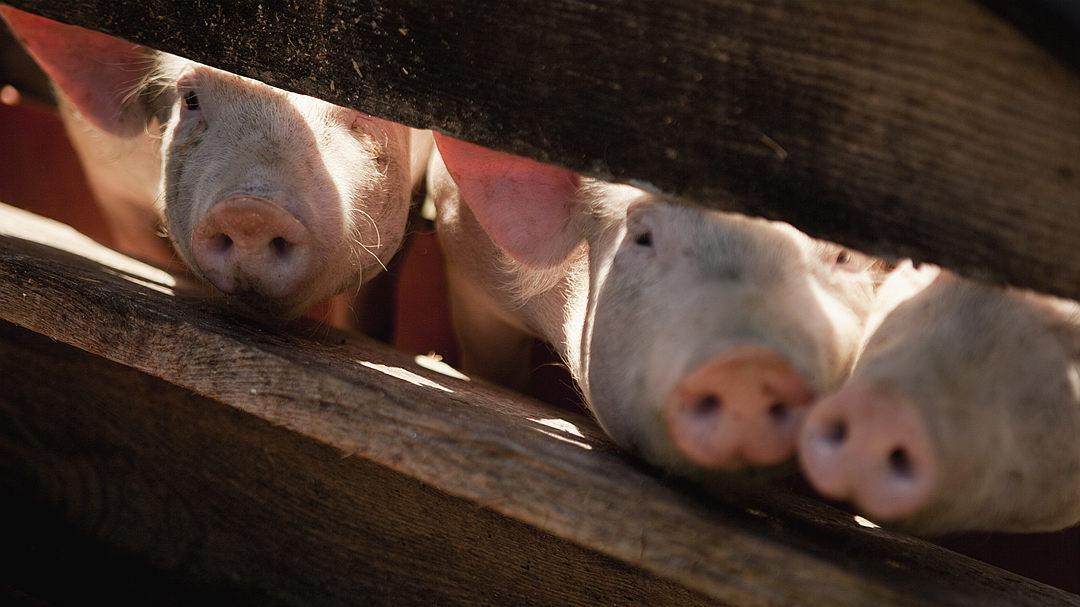 农业农村部:生猪生产整体进入止降回升的转折期