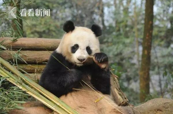 """大熊猫""""林冰"""""""