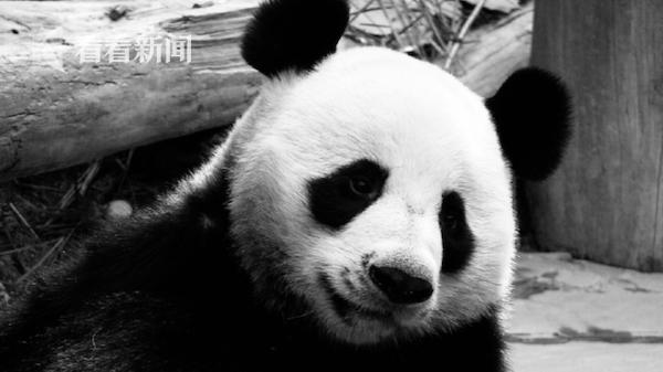 """大熊猫""""创创"""""""