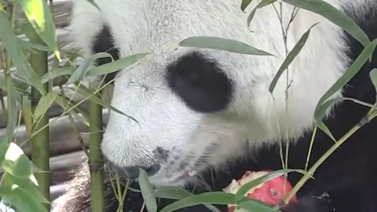 """19岁旅泰大熊猫""""创创""""死亡 疑似噎死原因待查"""