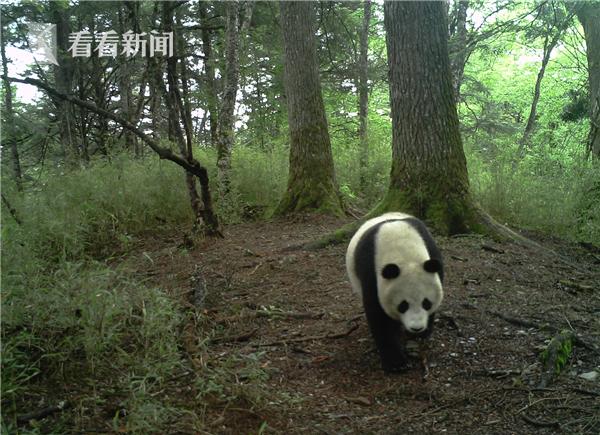 (四川卧龙-红外线触发相机拍摄到的野生大熊猫  国家林业和草原局供图)