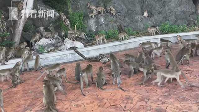 一则蟒蛇猎杀猴子的惊悚视频近日爆红网络,令人感慨同伴心有余力不足
