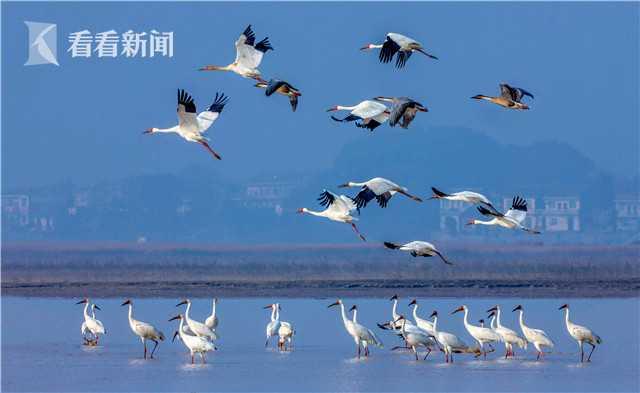 (鄱阳湖保护区  摄影:王小龙)