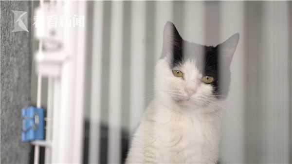 生物科技公司里的代孕母猫,它们通常为野猫