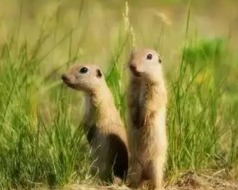 達烏爾黃鼠Spermophilus dauricus(照片引自搜狗圖片)