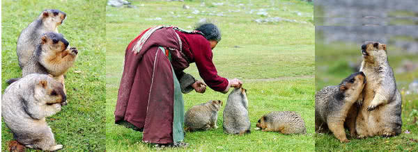 喜馬拉雅旱獺Marmota himalayana(照片引自百度百科)