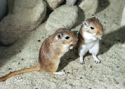 長爪沙鼠Meriones unguiculatus(照片引自搜狗圖片)