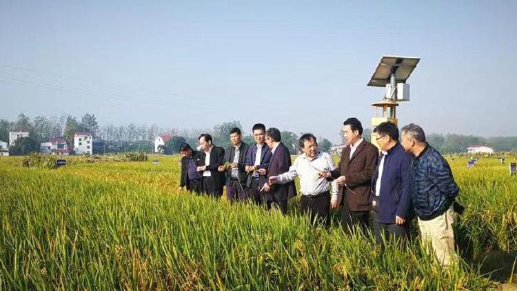 亩产1365公斤!长江中游双季稻产量创新高
