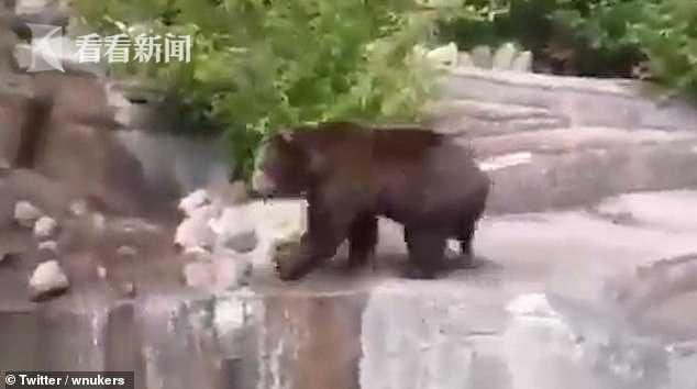 男子酒后闯进动物园 与400斤母熊在水里打起来