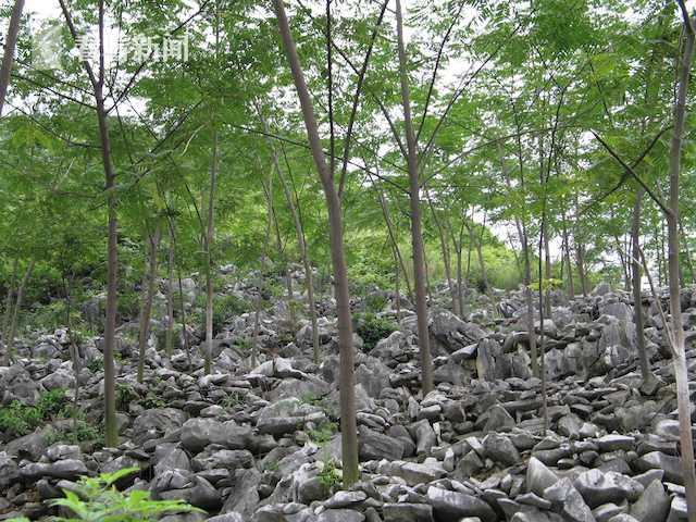 广西平果县通过退耕还林种植任豆树  国家林业和草原局供图
