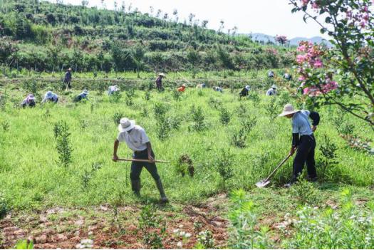 △7月初,光山县新天地生态林茶专业合作社里,十多位平均年龄近70岁的老人,正在苗圃花卉园里除草。