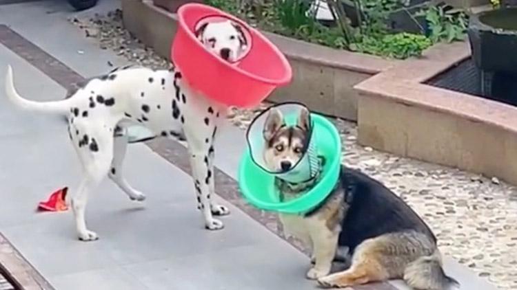 """狗狗做绝育手术后,主人用洗脚盆自制""""防舔圈"""""""