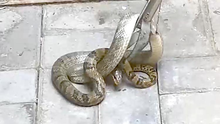 大蛇盘踞景区垃圾桶吓坏游客 蓝朋友捕获后放生