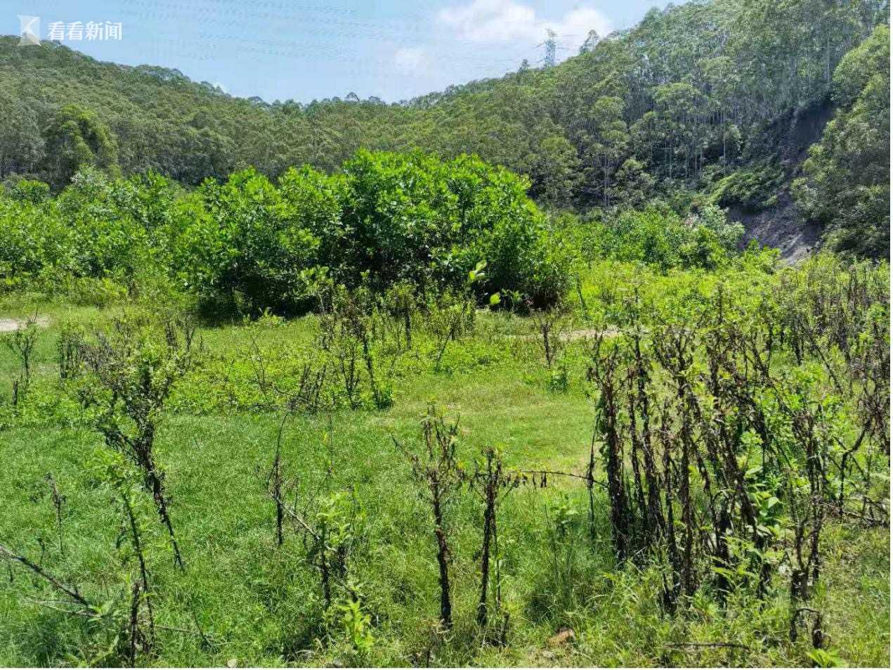(图3:炭步镇政府组织第三方公司对垃圾山清运后进行生态复绿)