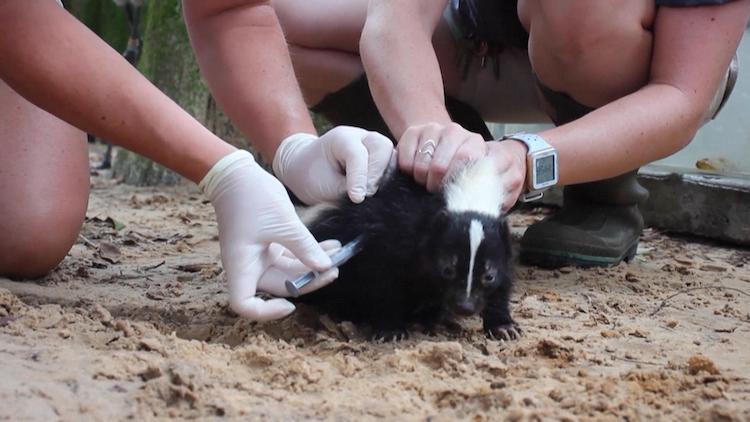 美国佛罗里达州一动物园为小动物接种新冠疫苗