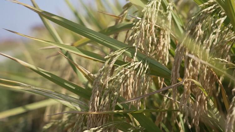 袁隆平爷爷念念不忘的海水稻新米即将上市