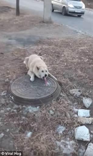 俄罗斯小狗舌头被井盖冻住 网友:对狗舌头尿上一泡尿应该能解决! - 点击图片进入下一页