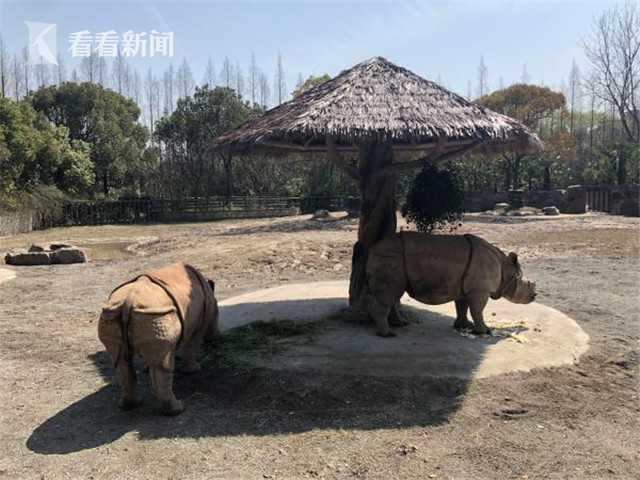 上海:亚洲独角犀牛今起全国首展